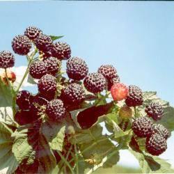 Разновидности малины