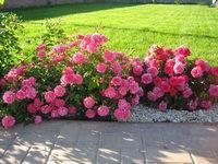 Роза флорибунда саша