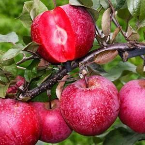 Сорта яблок с фотографиями и описанием