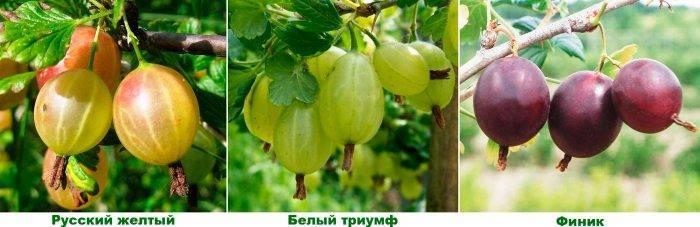 Крыжовник фото ягода