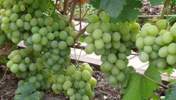 Среднепоздние сорта винограда