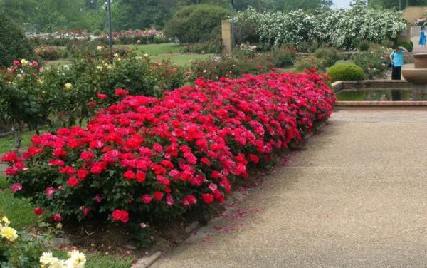 Обрезка бордюрных роз