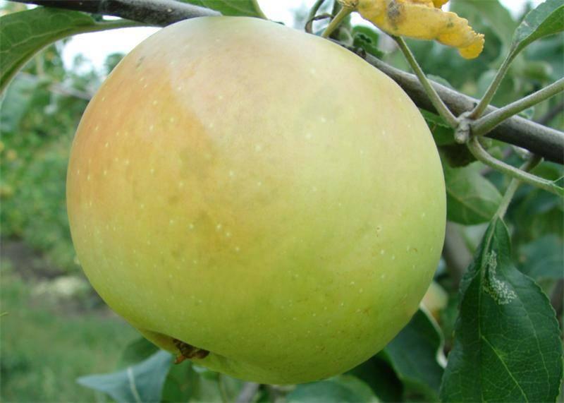 Заячья мордочка яблоко