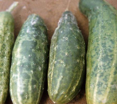 Вредители огурцов с фото и их лечение
