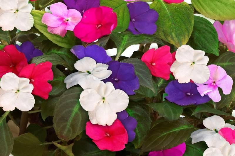 Цветы бальзамин махровый садовый фото