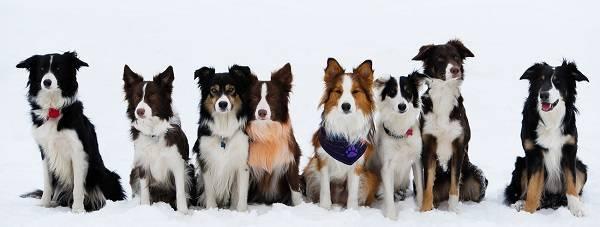 Собака компаньон и охранник