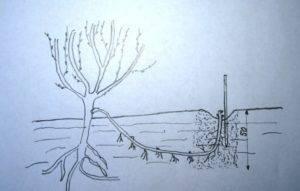 Размножение винограда чубуками осенью