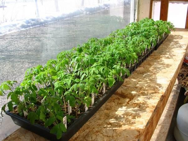Как правильно сеять семена помидор на рассаду