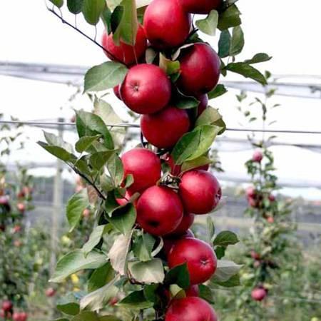 Redlove яблоки