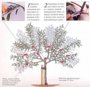Посадка вишни осенью в средней полосе