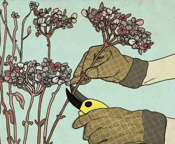 Как обрезать метельчатую гортензию на зиму