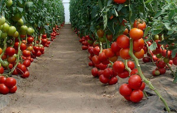Вкусные сорта томатов для теплиц