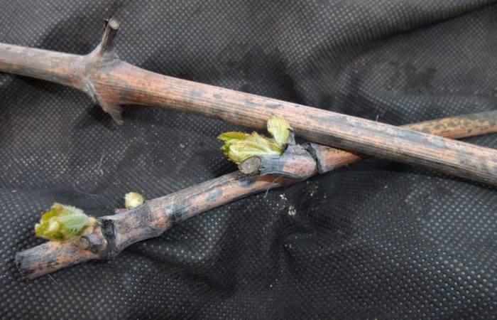 Как обработать виноград железным купоросом