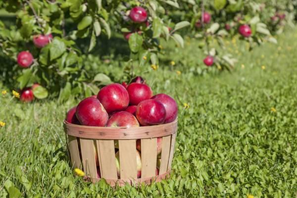 Анисовые яблоки