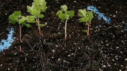 Размножение чёрной смородины черенками осенью