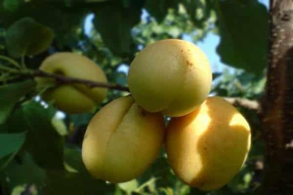 Ананасовый абрикос