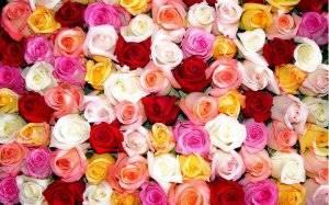 Роза это кустарник или травянистое растение