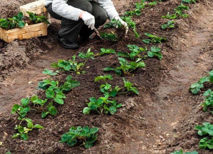 Как удобрить клубнику осенью