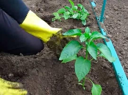 Как садить перец на рассаду