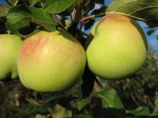 Бордовые яблоки