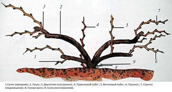 Обрезка винограда схема для начинающих