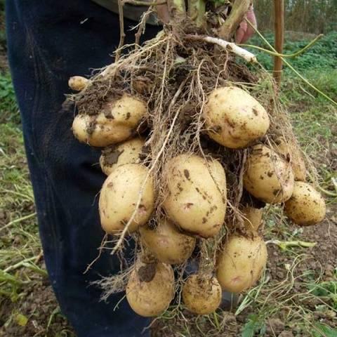 Картофель голландка описание сорта фото