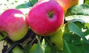 Когда сажать яблони в ленинградской области