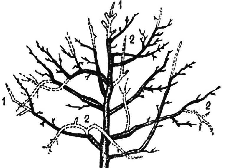 Обрезка плодовых деревьев осенью картинка
