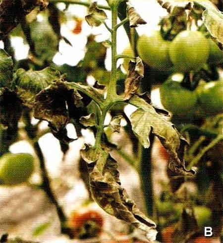 Сорта томатов устойчивые к кладоспориозу