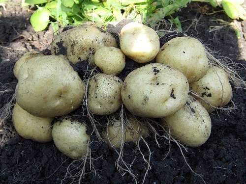 Как вырастить ранний картофель