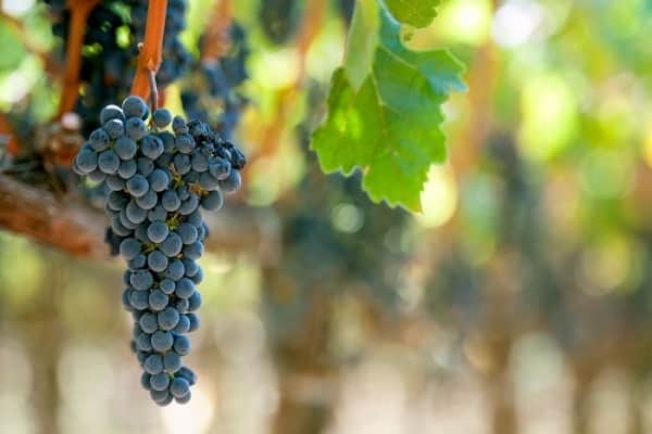 Подвязка винограда к шпалере