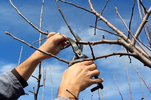 Обрезка вишни осенью для новичков