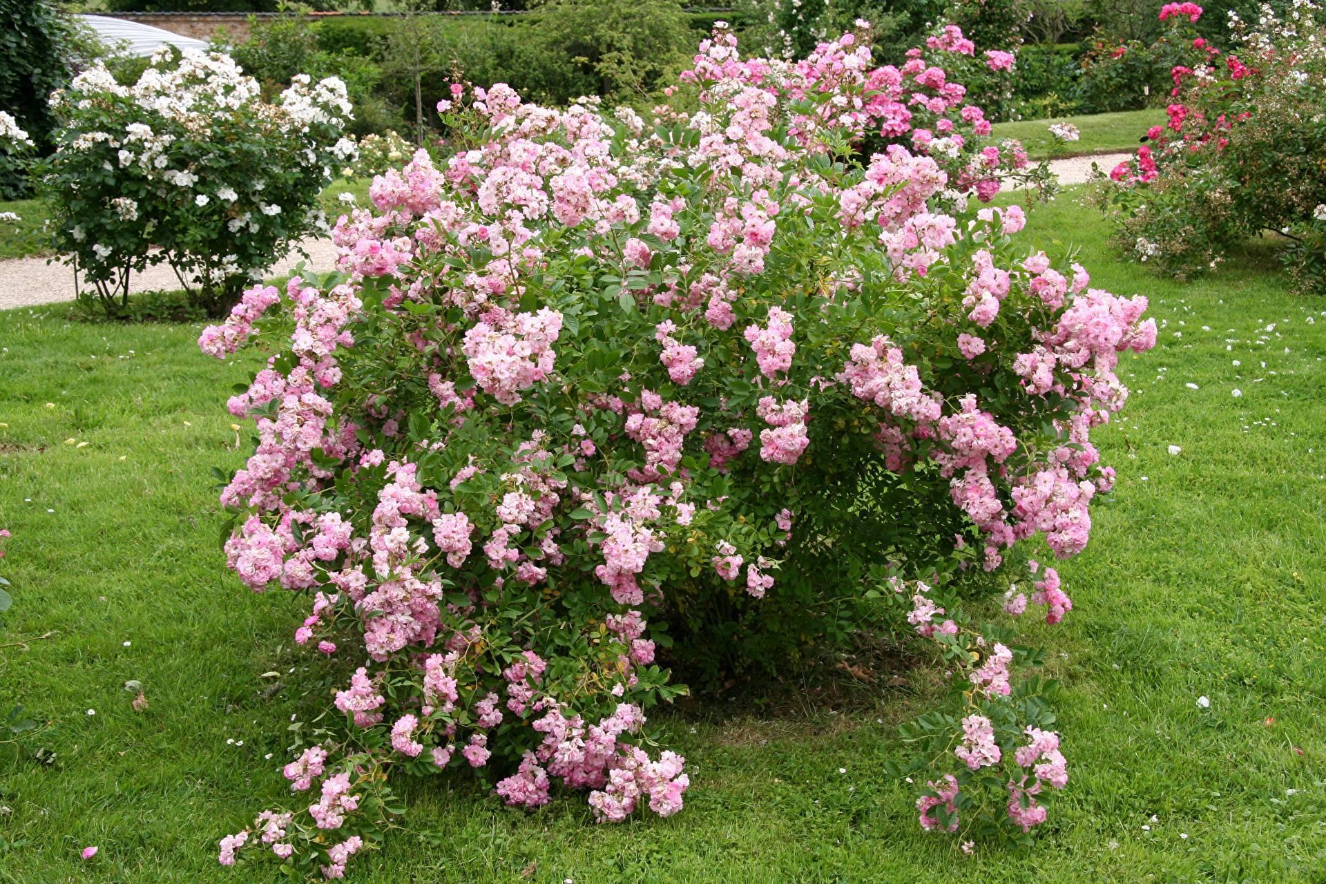 Сочетание роз по цвету в розарии