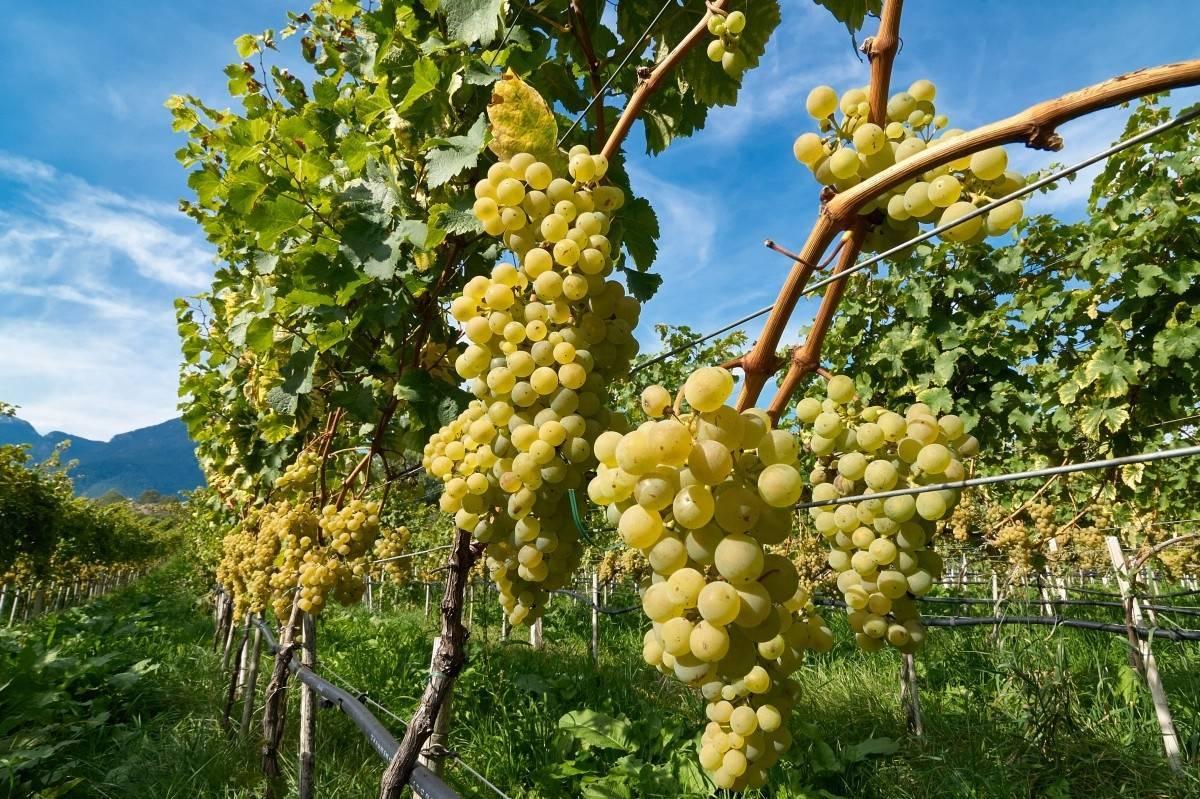 Обрезка винограда фото описание