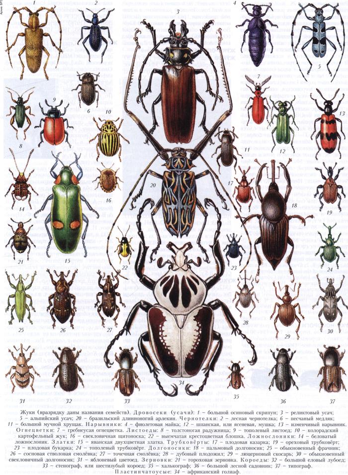 Какие есть жуки названия и фото
