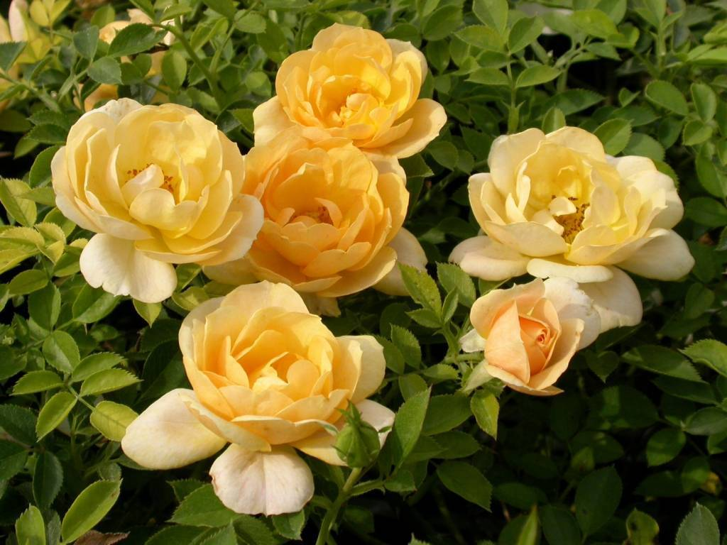 Роза apricot bells