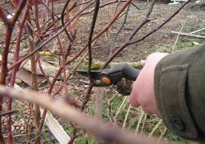 Обрезка роз перед зимой