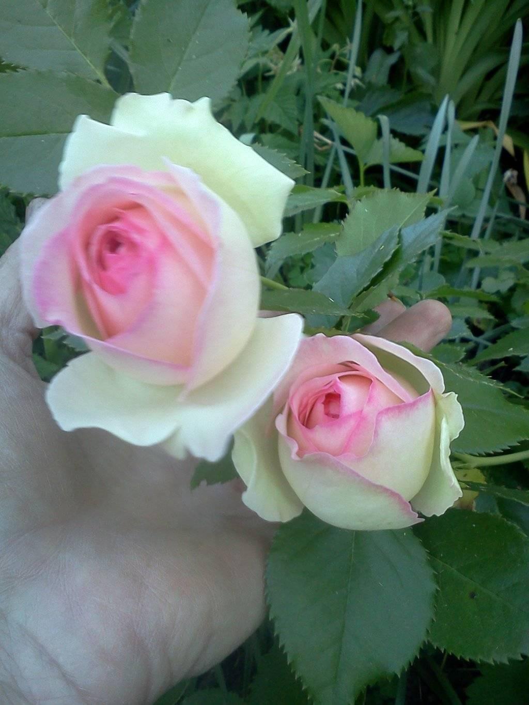 Каприфоль розы