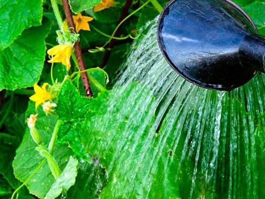 Как часто поливать огурцы