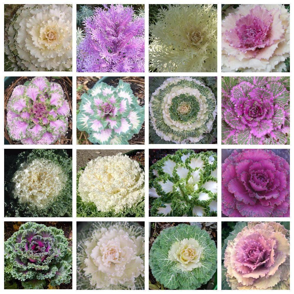 Цветы капуста декоративная фото