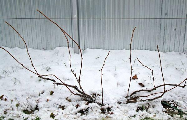 Обрезка винограда первый год