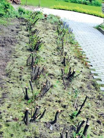 Как вырастить живую изгородь