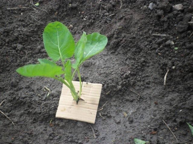 Как обрабатывают белокочанную капусту