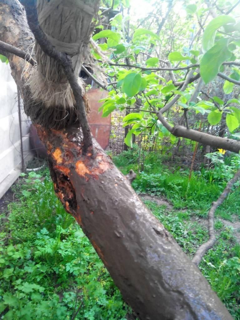 Опрыскивание деревьев на зиму