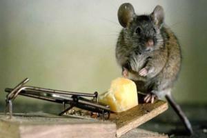 Чем травить мышей в частном доме