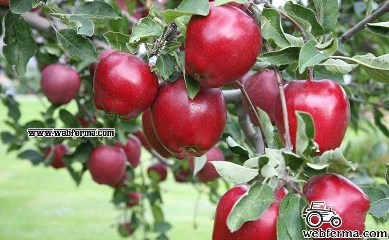 Яблоня дюшес описание фото