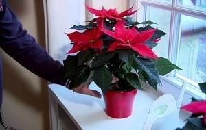 Цветок рождественская звезда уход пересадка