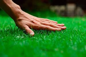 Какая газонная трава самая лучшая