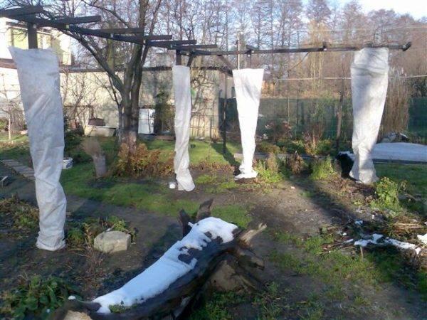 Как укрыть на зиму виноград первого года