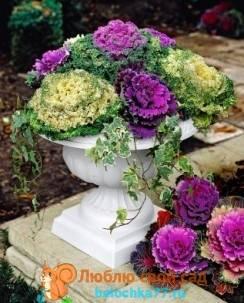Декоративная цветная капуста фото